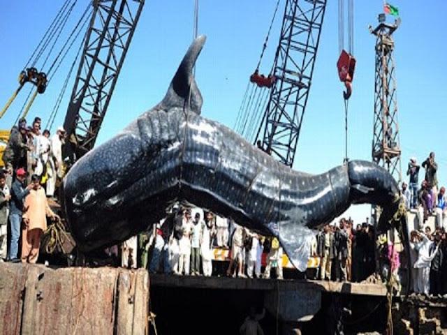 मुंबई में मिला दुर्लभ प्रजाति की व्हेल शार्क का शव, मछुआरों के जाल में फंस गई थी