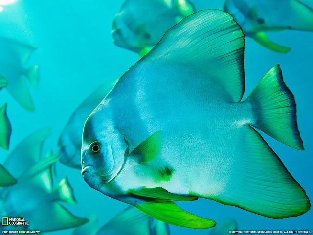 Spade fish, Bonin Islands