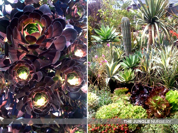 My Favorite Resource For Succulents In Los Angeles Is The Jungle Nursery Located At 1900 Sawtelle Blvd West