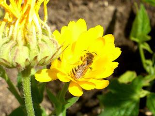 syrphe posé sur une fleur de soucis