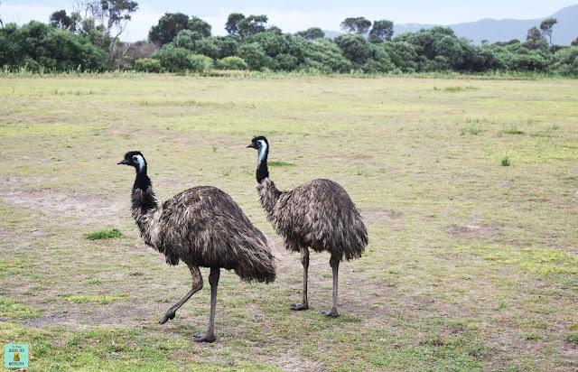 Emus en Australia