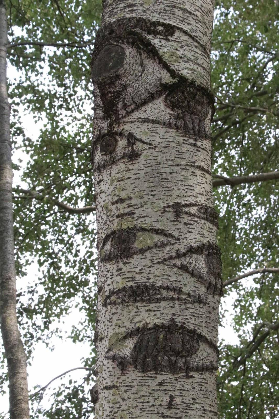puu tree eyes Beuningen