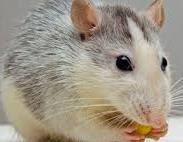 Tips Ampuh Mengusir Tikus di Rumah