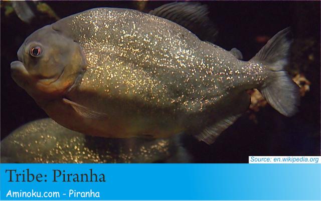 Fakta unik piranha