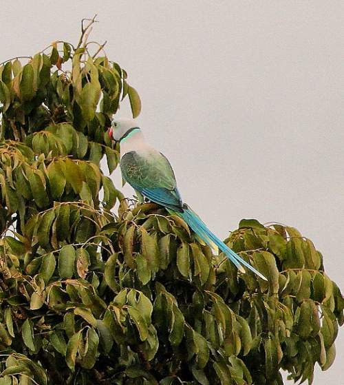 Birds of India - Photo of Blue-winged parakeet - Psittacula columboides