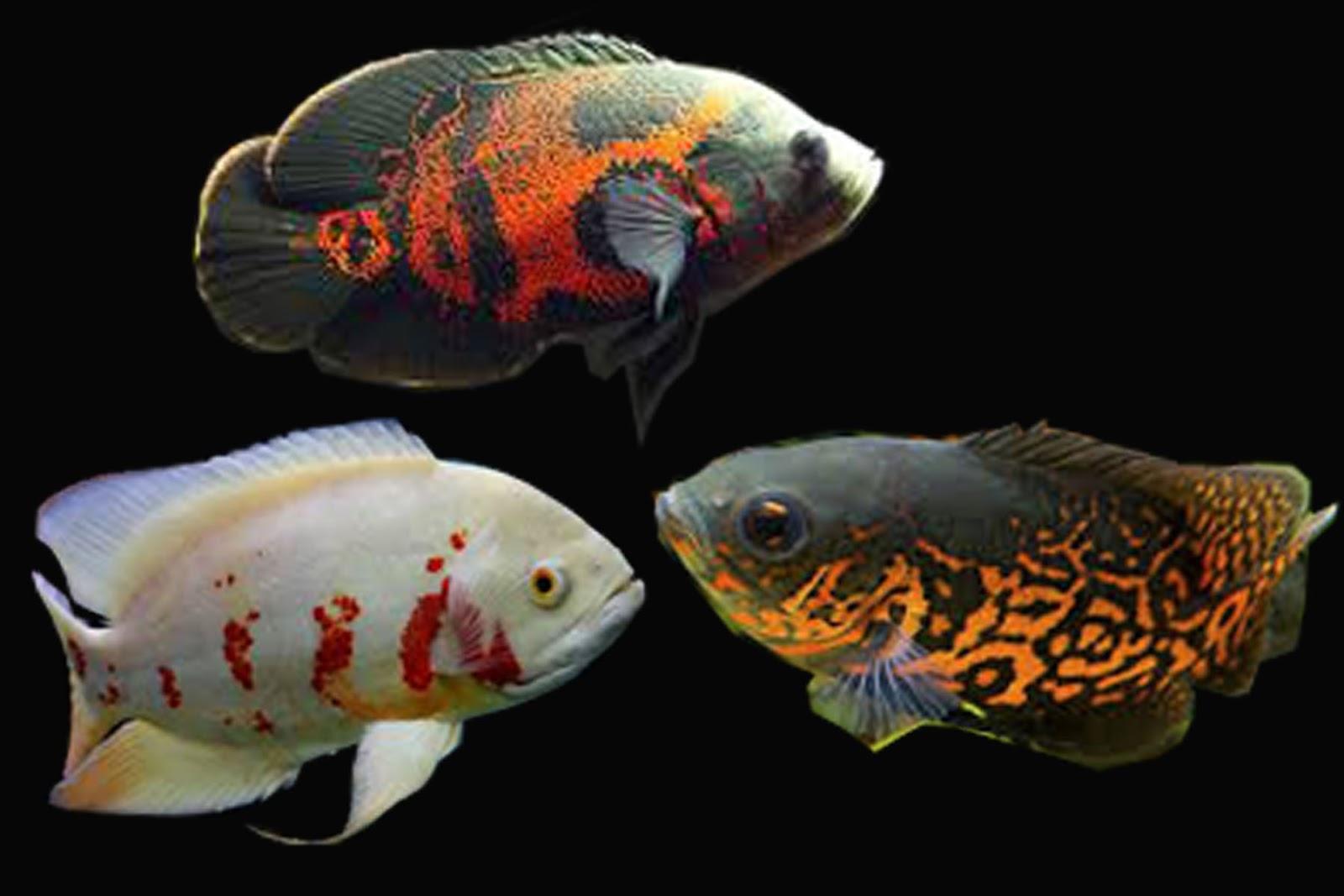Semua Tentang Ikan Hias Air Tawar Serba Serbi Ikan Hias Oscar