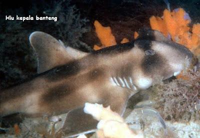gambar ikan hiu crested bullhead shark