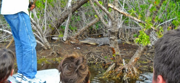 Airboat Tour in den Everglades, Alligatoren anschauen