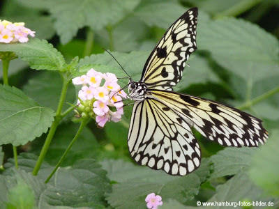 Weiße Baumnymphe, Schmetterlingspark, Schmetterling