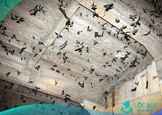 Nhà yến full chim.