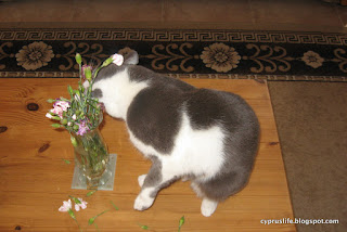 The cat Lady Jane biting the heads of some carnations in a vase