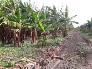 Custodiadas con Armas largas derriban cientos de tares de plátanos en el Proyecto la Cruz Manzanillo
