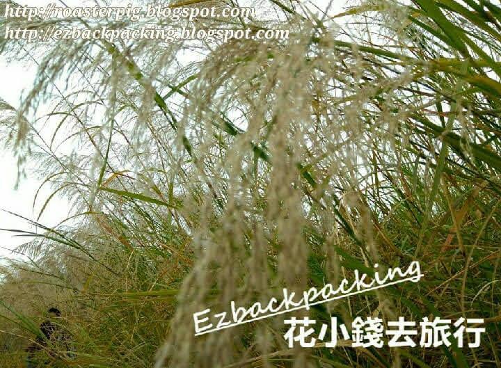 2021年坪洋芒草+白茅草田