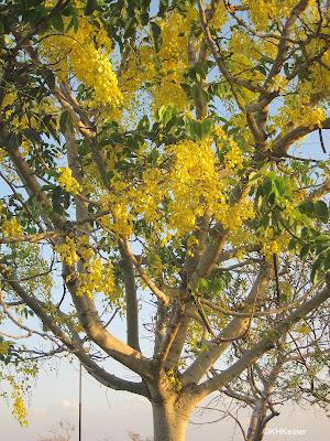 golden shower tree, Cassia fistulosa