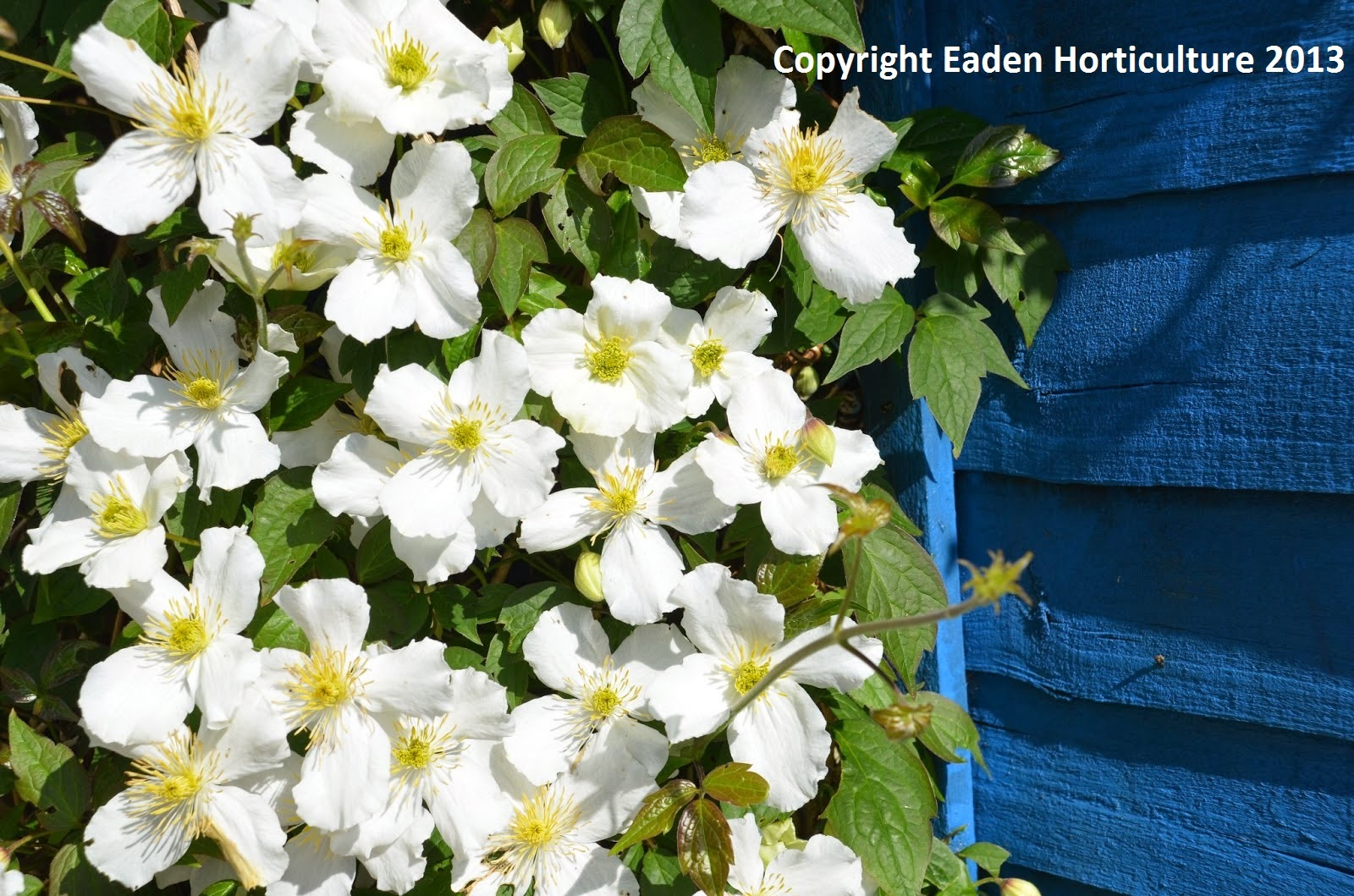 clematis montana the anemone clematis the garden of eaden. Black Bedroom Furniture Sets. Home Design Ideas