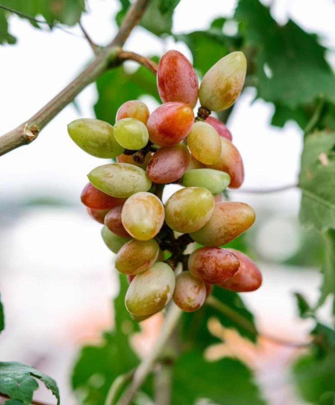 Bisa Borong! bibit anggur siap buah harga di atas 3pohon Kota Bandung #Jual bibit buah