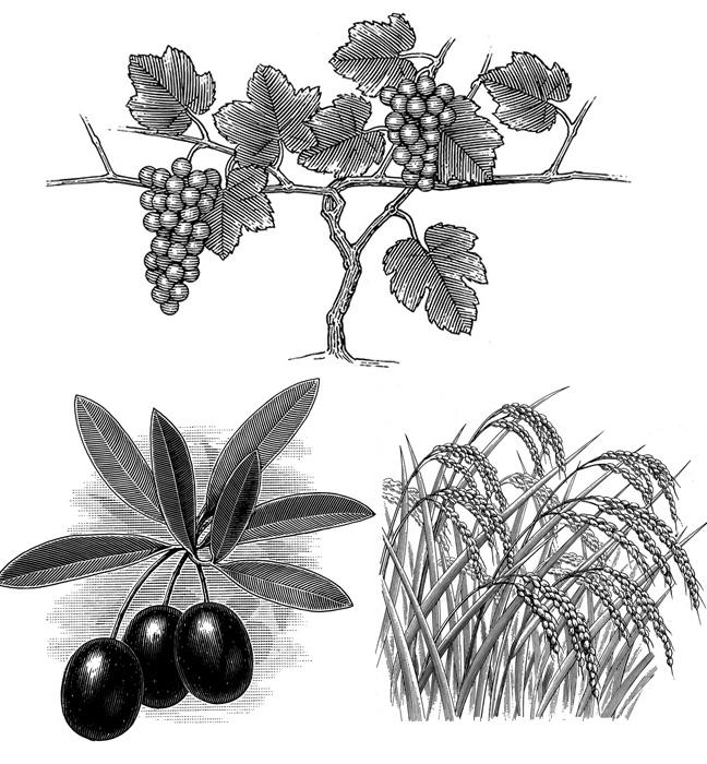 細密線画、緻密な線画、スクラッチイラスト、木口木版、ロットリング、モノクロ、葡萄、オリーブ、稲
