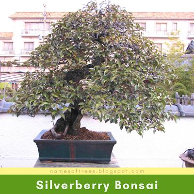 Silverberry Bonsai