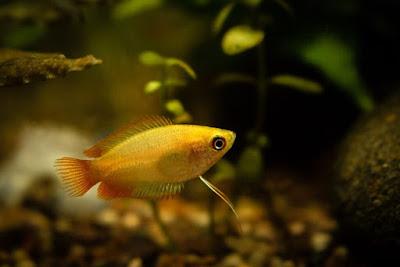 Ikan Sepat Madu