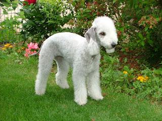 Bedlington Terrier - Rothbury Terrier | Rodbery Terrier