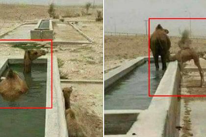 Subhanallah... Induk Onta Berendam di Kolam Air Sebelum Menyusui Anaknya Ini Buktikan Keagungan Al-Quran