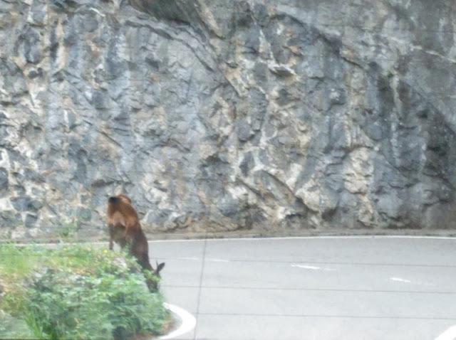 Rebeco comiendo en la ladera de la carretera del Desfiladero de los Beyos