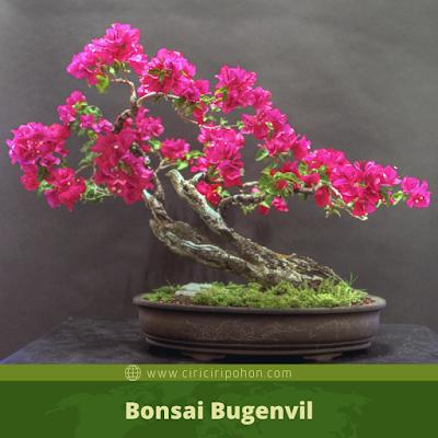 Bonsai Bugenvil