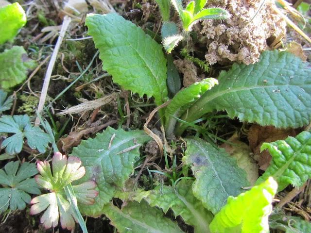Foglie di primula vulgaris