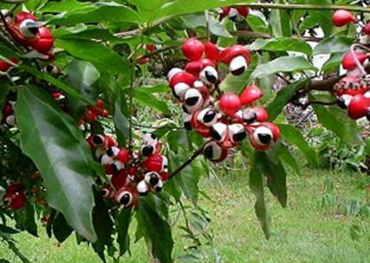 نبات الغرنا  Guarana