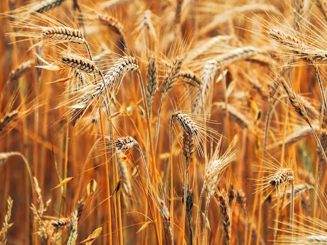 goudgeel graan