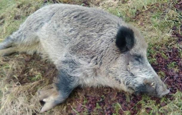 В Одеській області на березі Дунаю знайшли трупи свиней з АЧС