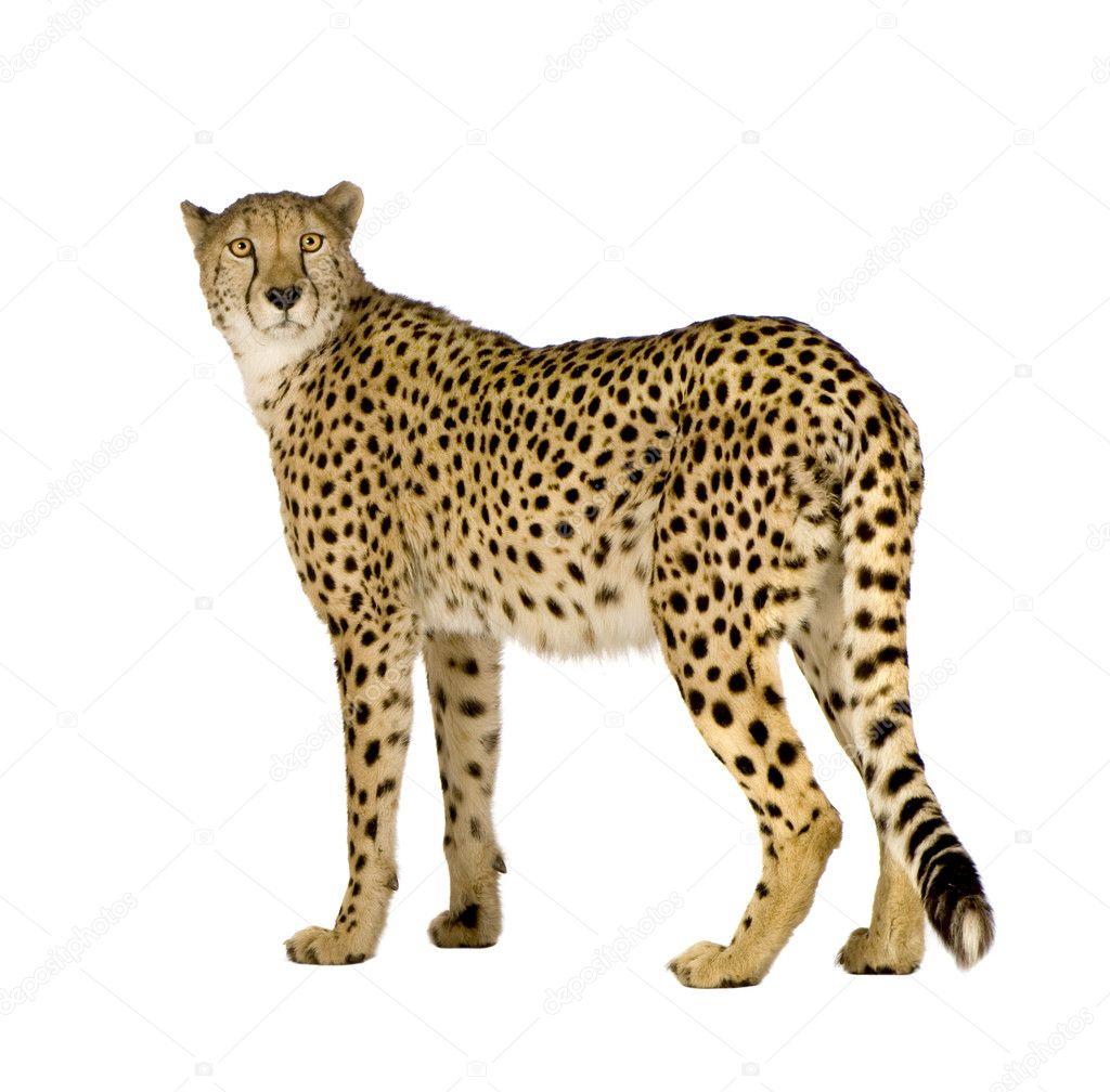 Guepardo (Acinonyx jubatus)