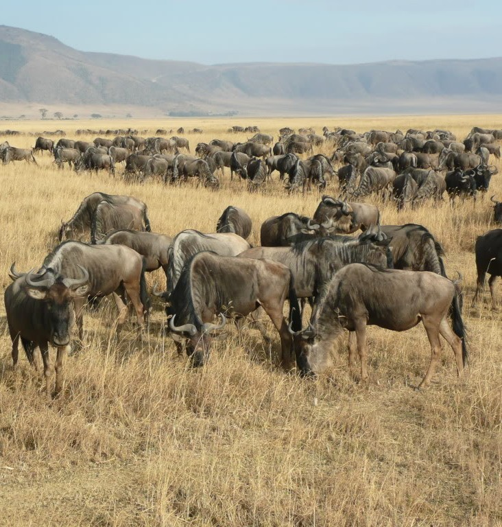 Picture of wildebeests.
