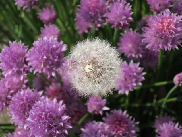 Dandelion clock in bed of purple flowering chives.