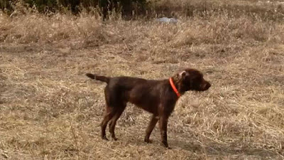 English Pointer Poodle mix (Pudelpointer) Temperament, Size, Adoption, Lifespan