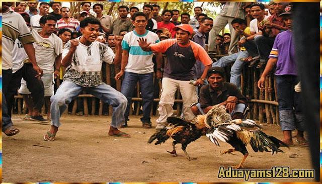 Tips Melatih Ayam Bangkok Aduan Menjadi Ayam Juara