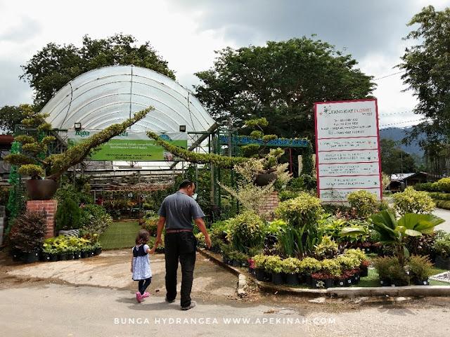 Bunga Hydrangea, bunga kembang 3 bulan, bunga Siti Zubaidah