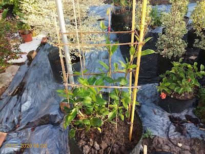 Cây huỳnh anh đỏ sau 6 ngày trồng