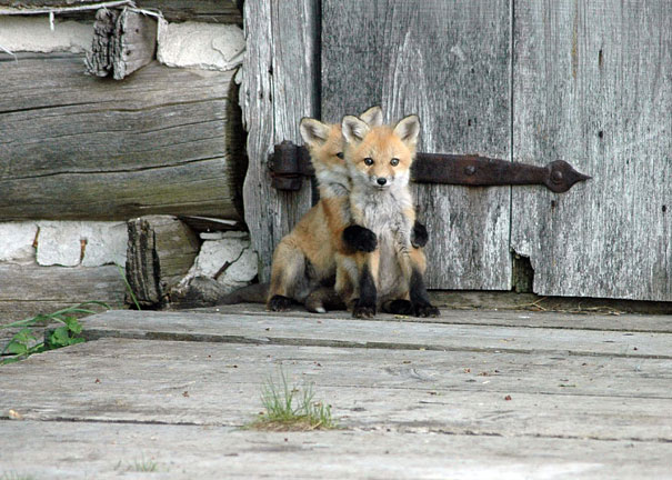 Baby Animals: Baby Foxes