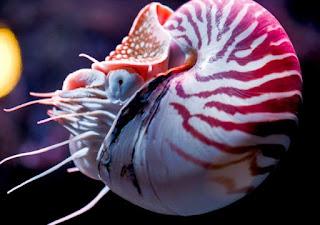 Nautilus Berongga