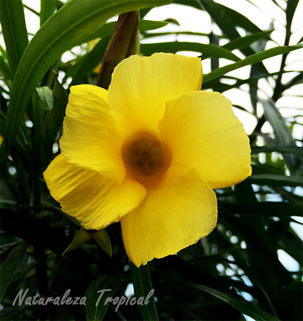 Flor de la Adelfa amarilla (Thevetia peruviana)