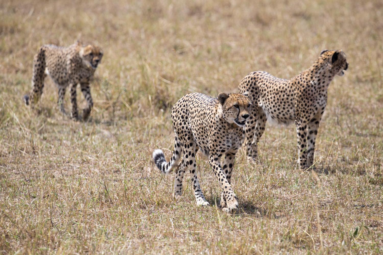 Coalición de guepardos listos para la caza