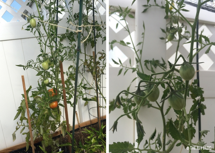 Tomatoes growing in a raised bed // www,thejoyblog.net