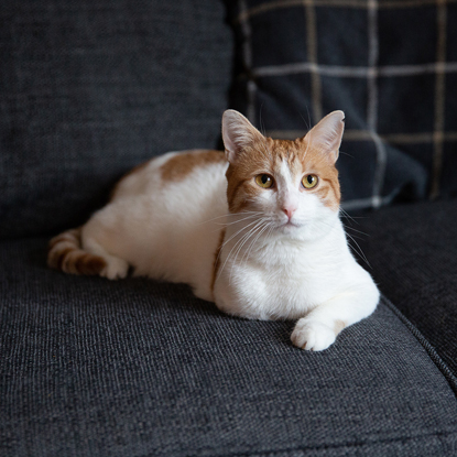 three-legged ginger-and-white cat laying on navy blue sofa