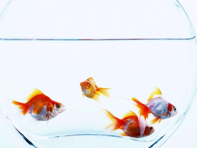 თევზი ვიტრინაში