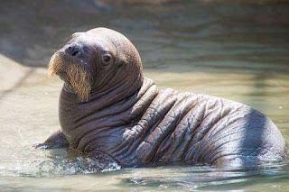 ganbar singa laut imut