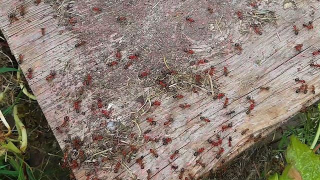 Aggressive formica ants...