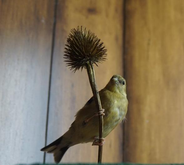 Goldfinch Ottawa Valley Wild Bird Care Centre