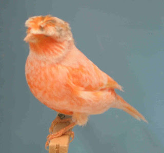 Burung Kenari Stafford - Solusi Pengangkaran Burung Kenari -  Mengenal Burung Kenari Stafford - Kenari Warna