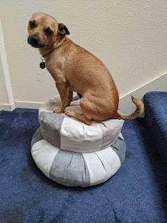 Little brown dog, Pinto, sitting on top of two cushions